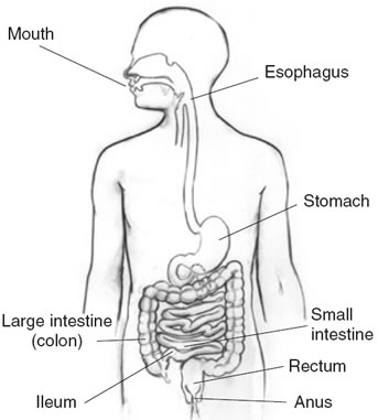 GutLoopDevelop also Gi Stasis House Rabbits in addition 6 1 Digestion likewise Function Of The Large Intestine additionally Large Intestine Diagram For Kids. on digestive system large intestine